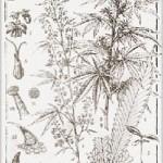 Botanica, breve storia e Farmacologia della Cannabis