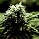 USA: il Congresso vota la fine della guerra federale contro la cannabis terapeutica
