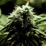 La Cannabis e gli Adolescenti: uno studio mostra che l'azione è minore di quanto si pensasse
