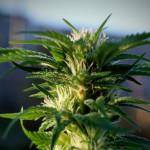 Cannabis e Ansia: una serie di utili informazioni
