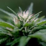 THC, CBD e simili: L'Effetto Entourage della Cannabis