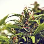 La Cannabis può aiutare nello scompenso cardiaco cronico