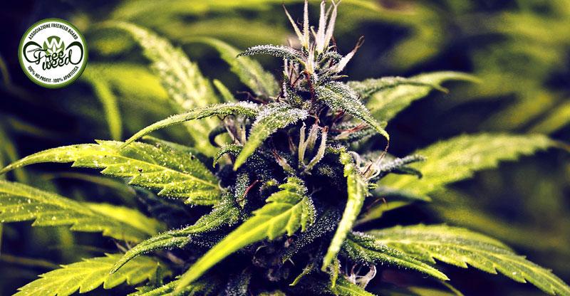 Farmaci cannabinoidi: a che punto siamo?