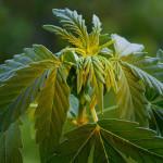 Antonino Chiaramonte – Coltivatore in proprio Cannabis