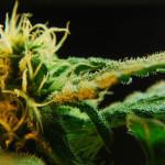 Cannabis e Cibo: Biscotti
