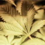 Studio Britannico: Cannabis come aiuto contro l'Osteoporosi