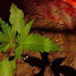 La Cannabis può aiutare il Cervello