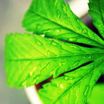 Australia: Cannabis per lenire gli effetti collaterali della Chemioterapia
