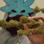 Cannabis terapeutica, EraSuperba.it incontra pazienti e produttori genovesi: le immagini e le testimonianze