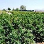 Il Senato degli Stati Uniti approva la legge per legalizzare la Canapa Industriale