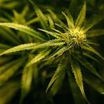 Cannabis può aiutare a liberarsi dalla dipendenza dagli oppiacei