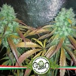 Cannabis utile contro Emicrania