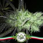 Decreto Cannabis Terapeutica: LILA e FORUM DROGHE scrivono una lettera alla Ministra Lorenzin