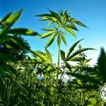 La cannabis terapeutica in Piemonte