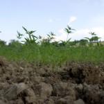 Come avviare una coltivazione di Canapa in Italia