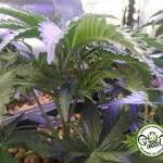 L'eterozigotismo della cannabis