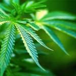 Nutrimenti ed Insufficienze della Pianta di Cannabis