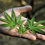 Rilevanza Penale della Coltivazione Personale di Cannabis