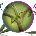 Riconoscere le piante di cannabis maschio e femmina