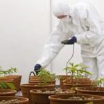 """L'analisi del Dr. Fagherazzi sulle attuali vicende della """"Medical Cannabis di Stato"""""""