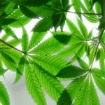 La cannabis porta più sollievo dal dolore agli uomini che alle donne?