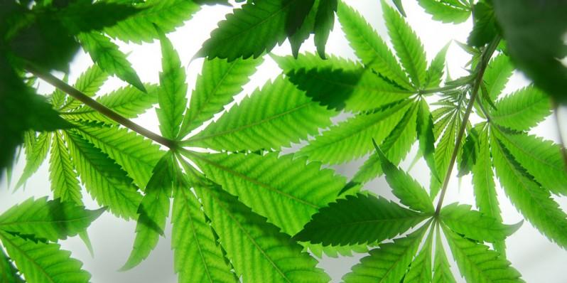 cannabis-free-screensavers-play-358070