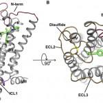 Il recettore CB1 visto in tre dimensioni