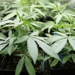 La Cannabis nelle Religioni