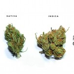 Differenze nella coltivazione di Cannabis Sativa, Indica e Ruderalis