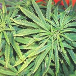 Diagnosi della Carenza di Nutrienti nelle piante di Cannabis