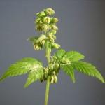 Come individuare una pianta ermafrodita