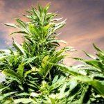 Uno studio smentisce la tesi dell'aumento dell'uso negli adolescenti dopo la legalizzazione