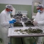 """""""Medical Cannabis"""" di Stato in distribuzione a gennaio, si punta a 100 Kg l'anno: Ma quanto fabbisogno copriranno?"""