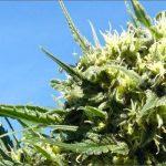 La Cannabis produce THC per il suo incredibile ruolo protettivo