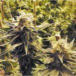 In Argentina nasce la prima clinica per la cannabis a livello medico