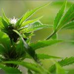 Cannabis e percezione del tempo: un'analisi di Leafly.com