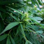 Studio: I Cannabinoidi possono trattare il dolore infiammatorio persistente