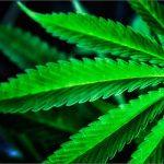 """La cannabis delle Farmacie """"sballa"""" come quella """"illegale"""", se non di più: Ma non è questo il punto."""