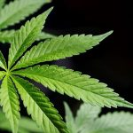 La Georgia depenalizza il possesso di piccole quantità di cannabis