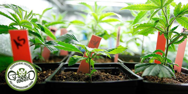 Come far germogliare un seme di cannabis