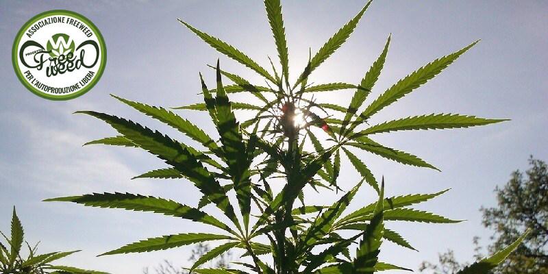 In Germania è pronto il primo raccolto legale di Cannabis Medica: ed è frutto dell'autoproduzione personale
