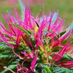 La scienza dietro i colori della Cannabis