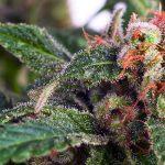 La Cannabis è ora un ingrediente molto ricercato tra gli Chef di tutto il mondo