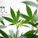 CBDA e THCA: Alla scoperta di due potenziali agenti contro il cancro
