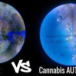 FM2 vs Cannabis Autoprodotta: Analisi visiva dei Tricomi