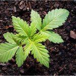 Studio: il 90% degli adulti che usano Cannabis per trattare l'epilessia trovano successo