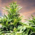 Depositato l'Ending Marijuana Prohibition Act: Gli USA verso la fine della Guerra contro la Cannabis?