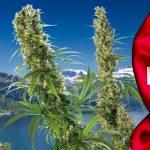 In Svizzera al via l'iniziativa popolare per regolamentare la cannabis