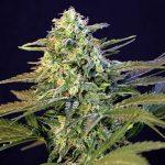 Studio: Cannabis come opzione efficace di auto-medicazione per i sintomi dell'ADHD