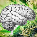 Studio: I consumatori di Cannabis hanno un aumentato flusso sanguigno nel cervello